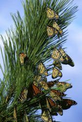 Monarch migration Photo
