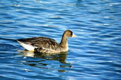 Greater White-fronted Goose Photo