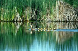Redhead ducks Photo