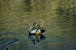 Blue-winged Teal -drake Photo