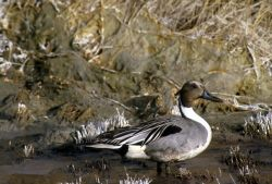 Northern pintail male Photo