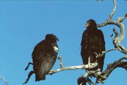 Juvenile Condors Photo