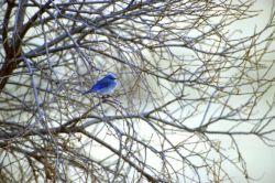 Mountain Bluebird Photo