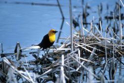 Yellow-headed blackbird Photo