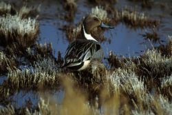 Northern Pintail Drake Photo
