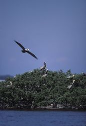 Brown Pelican Flys Over Pelican Island NWR Photo