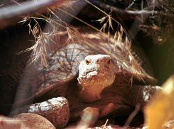 Desert Tortoise Photo