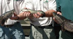 Examples of Northern Snakehead Fish Photo