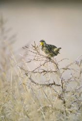 Western Meadowlark Photo