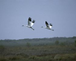 Whooping Cranes at Aransas NWR Photo