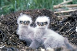 Bald eagle chicks Photo