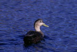 American Black Duck Photo