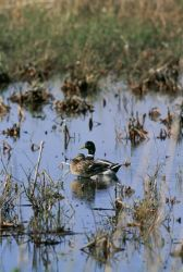 Mallard ducks in a Wetland Photo