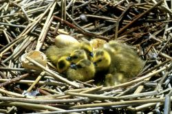 Canada geese goslings Photo