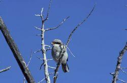 Loggerhead shrike Photo