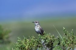 Sage Thrasher Photo