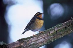 Varied Thrush Photo