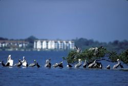 White and Brown Pelicans Gather on Pelican Island NWR Photo