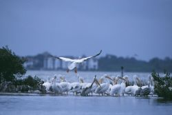 White Pelicans at Pelican Island NWR Photo