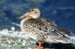 Northern shoveler -hen Photo