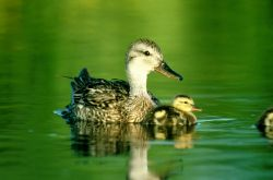Gadwall duck with duckling Photo