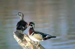 Wood duck - pair Photo