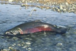 Chinook Salmon Photo