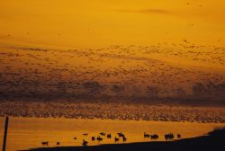 Geese fly in at sunrise Photo