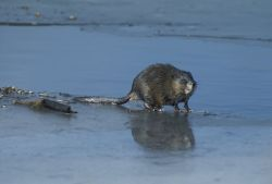 Common Muskrat Photo