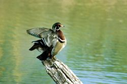 Wood duck - drake Photo