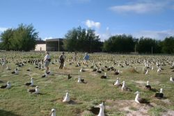 Endangered Laysan Albatross Count at Midway Atoll NWR Photo
