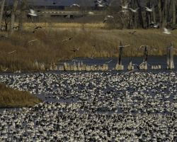 Flock of Lesser Snow Geese at Desoto NWR Photo