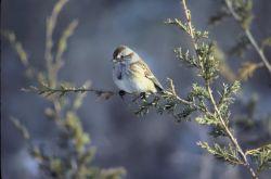 American tree sparrow Photo