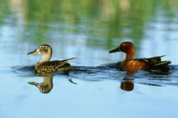 Cinnamon teal - pair Photo