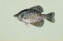 Black crappie Photo