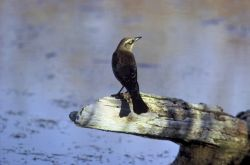 Rusty Blackbird Photo