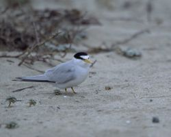 Endangered California Least Tern Photo