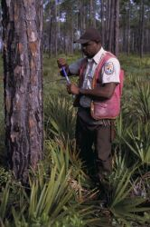FWS Employee Coring Timber to Promote Red-Cockaded Woodpecker Nests Photo