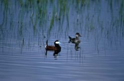 Ruddy duck pair Photo