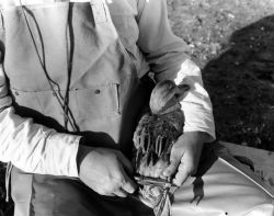 Duck Banding Photo