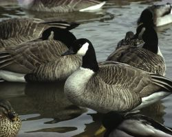 Canada Geese at Crab Orchard National Wildlife Refuge Photo