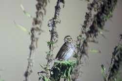 Savannah Sparrow Photo