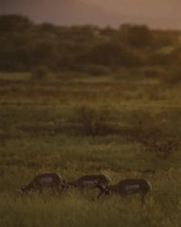 Pronghorned Antelope at Buenos Aires NWR Photo