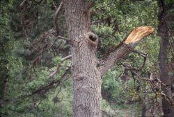 Oak Tree Cavity Photo