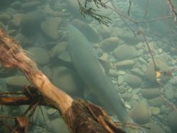 Adult Chinook Salmon in Elwha Photo