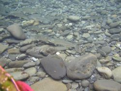 Bull Trout in Quinault Photo
