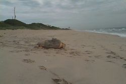 Loggerhead Sea Turtle with Satellite Transmitter Photo