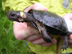 Bog turtle with affixed radio transmitter, Clemmys muhlenbergii Photo