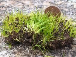 Endangered mat-forming quillwort (Isoetes tegetiformans). Photo