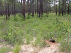 Gopher tortoise burrow and habitat (Gopherus polyphemus) Photo
